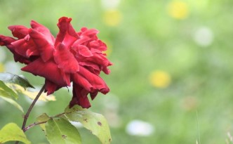 How to make your own vegan rose perfume